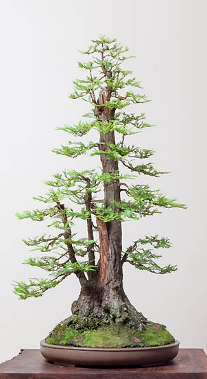 Coastal-Redwood-Narrow-Bonsai_sm.jpg