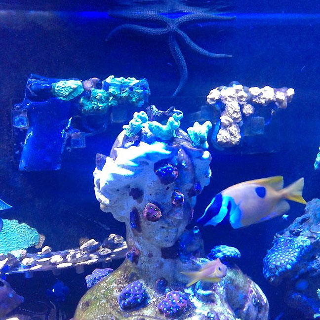 Sexy-starfish-gun-coral-reef_sq.jpg