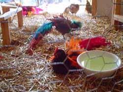 chickens.jpg