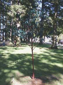 oswaldtree.jpg